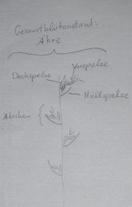Blütenaufbau der Süßgräser
